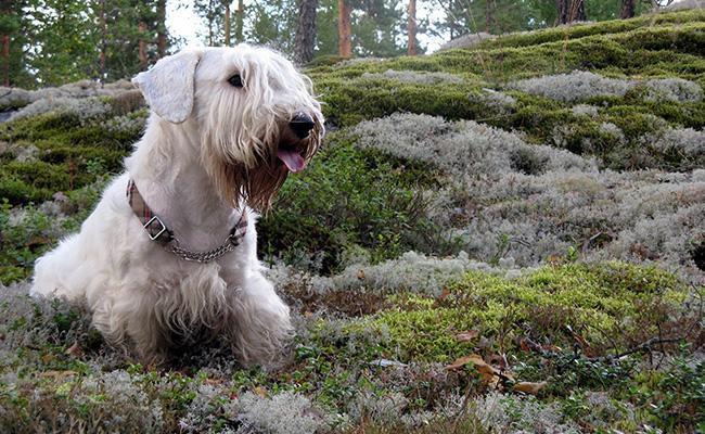 sealyham-terrier-terrier-dogs