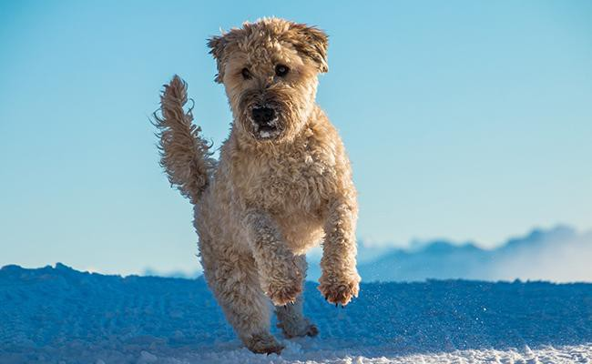 soft-coated-wheaten-terrier-terrier-dogs