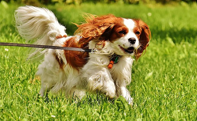 cavalier-king-charles-spaniel-therapy-dogs