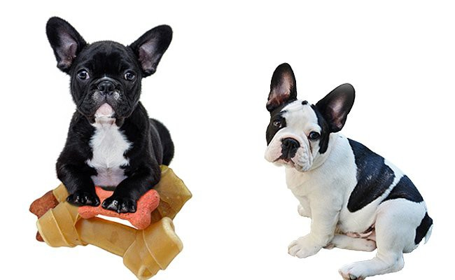 french-bulldog-therapy-dogs