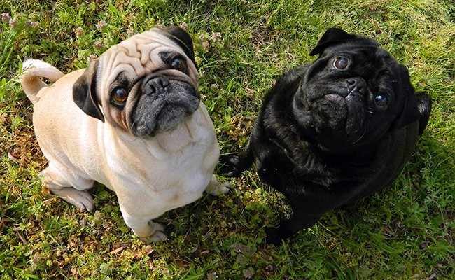 pug-therapy-dogs