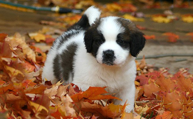 saint-bernard-therapy-dogs