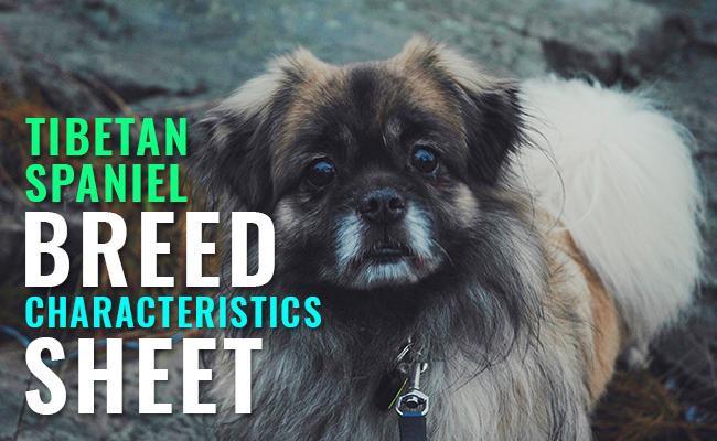 tibetan-spaniel-breed-characteristics-shee