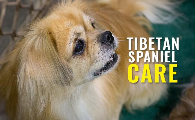 tibetan-spaniel-care