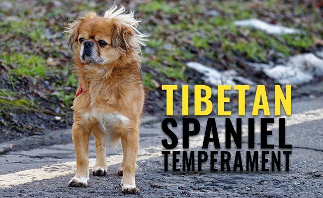 tibetan-spaniel-temperament