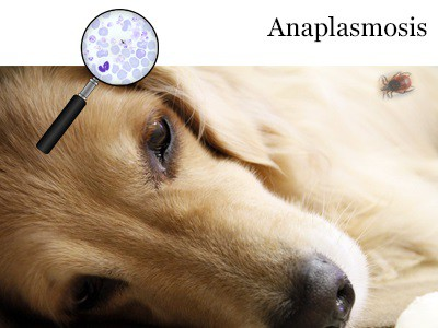anaplasmosis