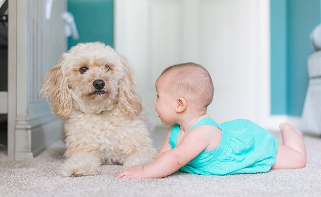toy-poodle-temperament