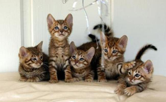 toyger-cat-care