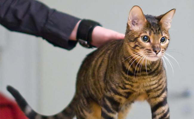 toyger-cat-health