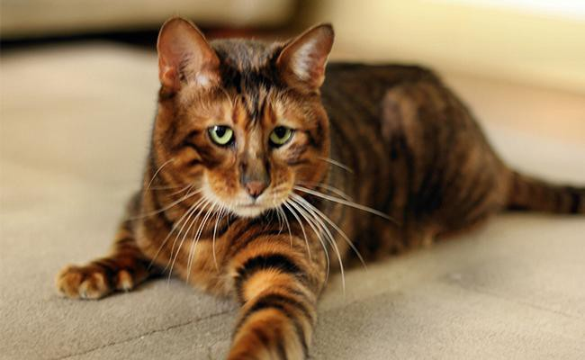 toyger-cat-history