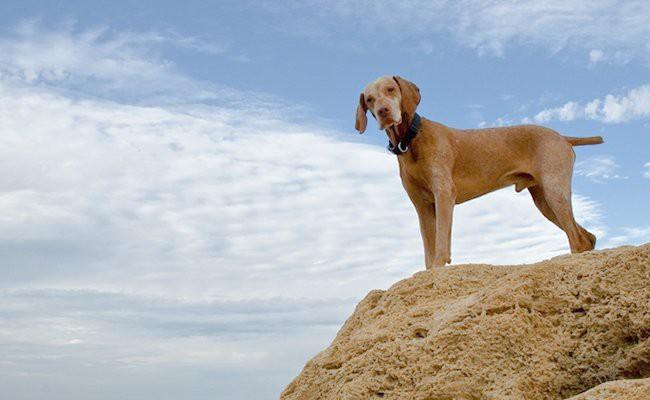 vizsla-dog-history