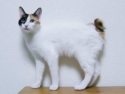 japanese-bobtail-white-cat
