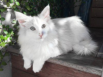 norwegian-forests-cat-white-cat