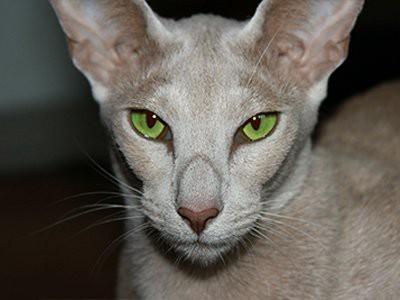 oriental-shorthair-white-cat