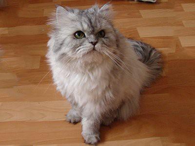 persian-white-cat