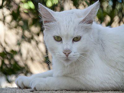 russian-white-white-cat