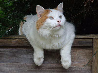 turkish-van-white-cat