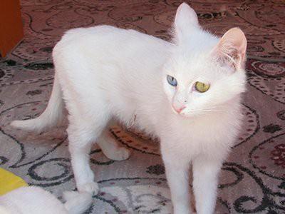 van-kedisi-white-cat