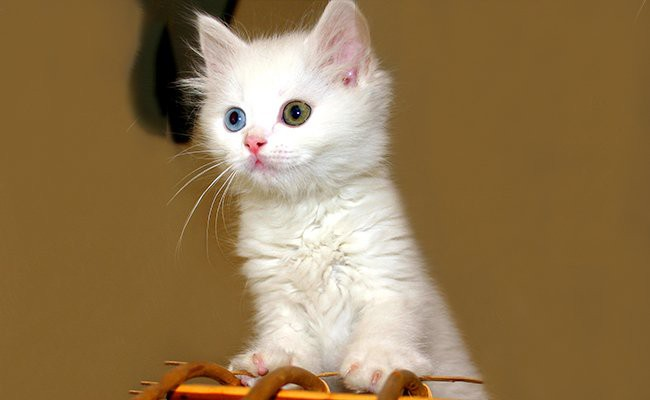 white-cat-personality - White Cat