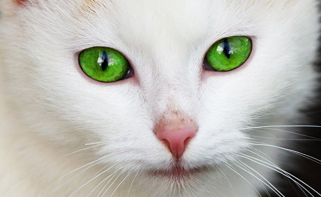 white-cats-with-green-eyes - White Cat