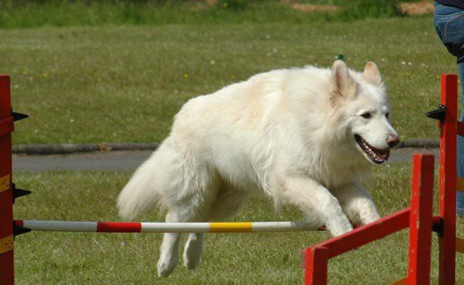 white-german-shepherd-training