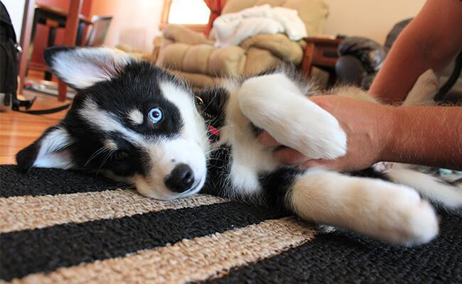 so-why-do-dogs-like-belly-rubs
