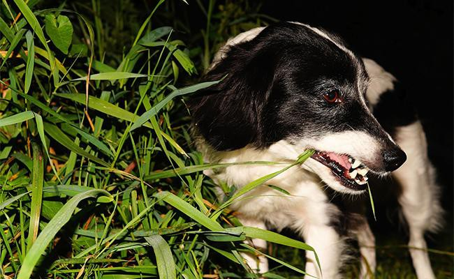 why-do-dogs-eat-grass-here-are-a-few-theories
