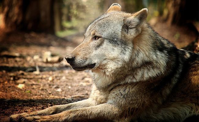 wolfdog-breed-characteristics-sheet