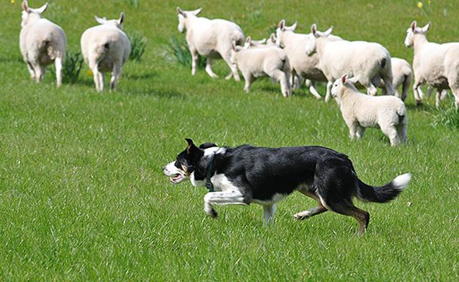 herding-dogs-working-dogs